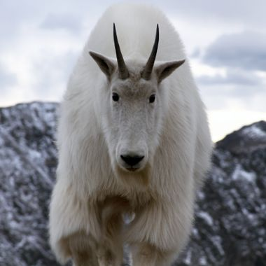Anarchist Mountain Goat