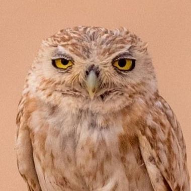 A Random Owl